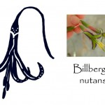 The Billbergia Flower